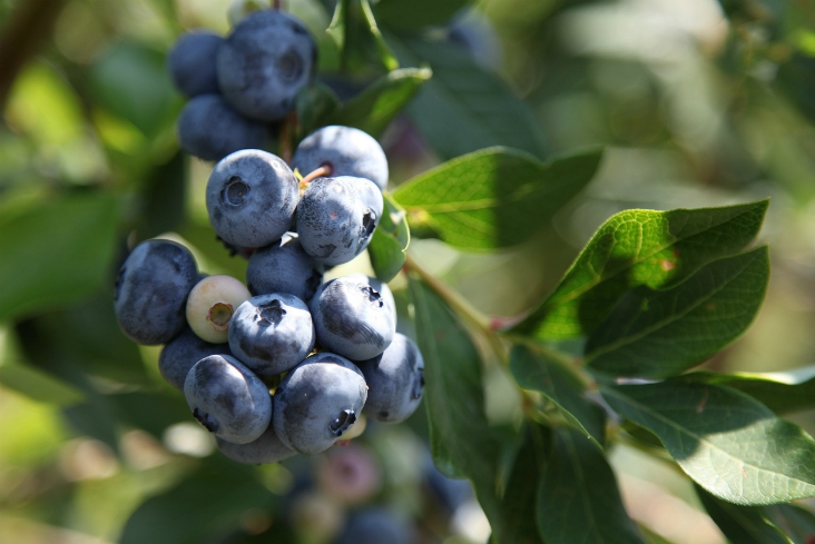 Top 10 Types of Berries To Grow In Your Garden