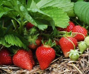 Top 10 Types of Berries To Grow In Your Garden
