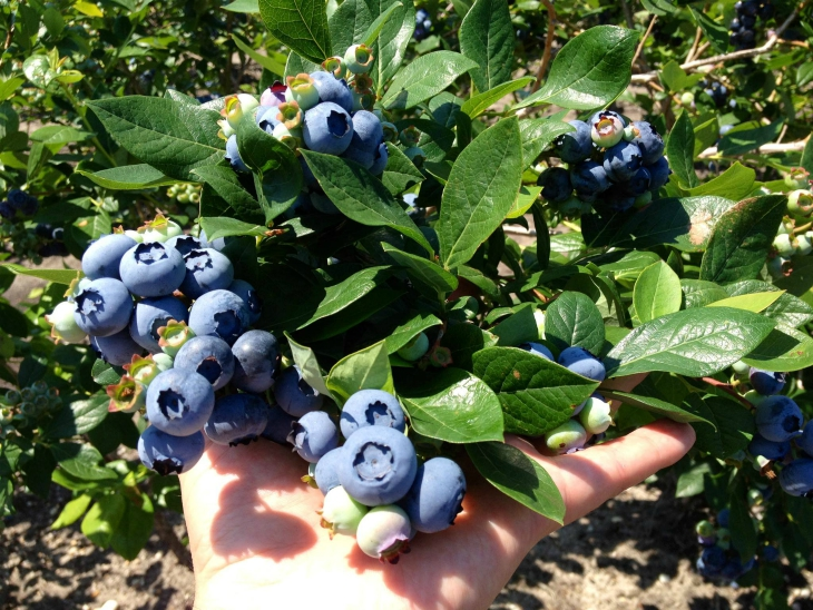 Top 10 Tips On How To Grow Blueberries