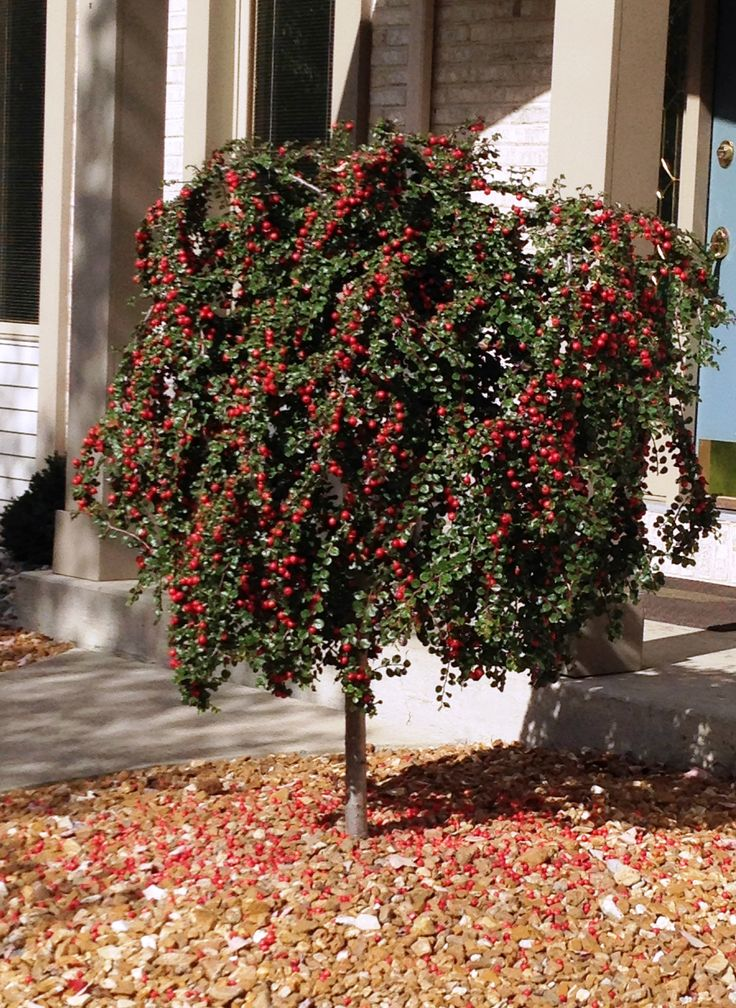 Cranberry-Cotoneaster