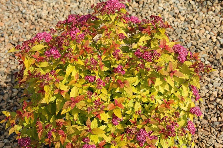 Top 10 Dwarf Flowering Bushes For A Fairy Tale Garden