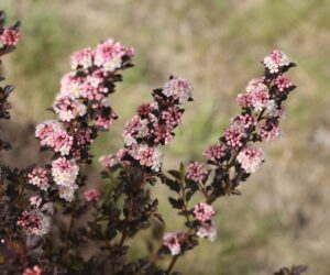 Top 10 Dwarf Flowering Bushes for a Fairy Tale Garden