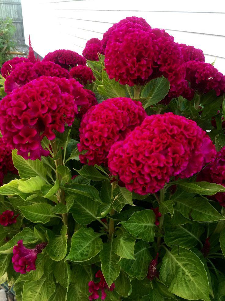 Cockscomb-flowers