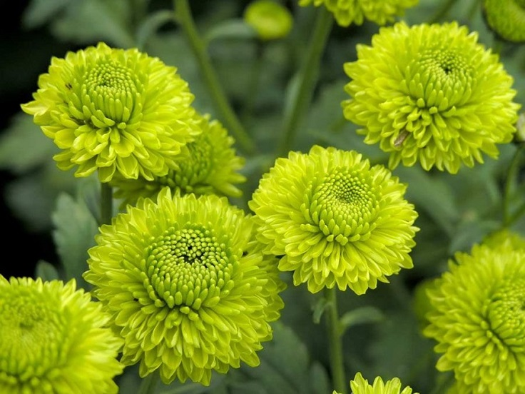 Green-Chrysanthemum