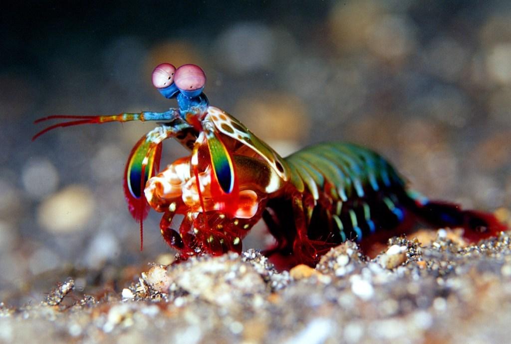 Purple-spot-mantis-shrimp