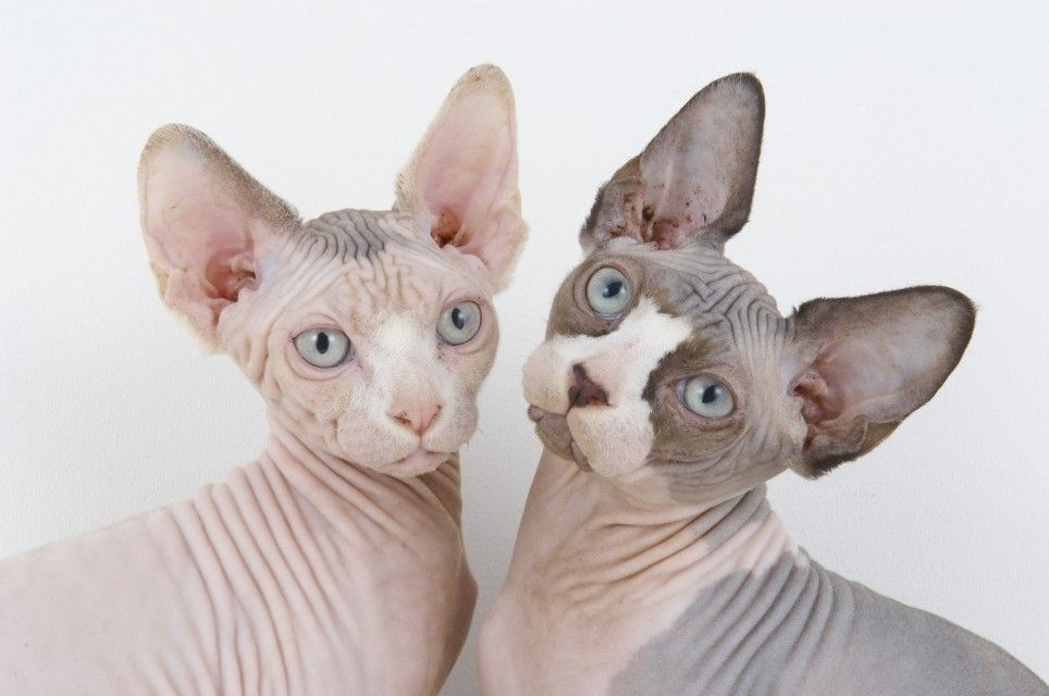 The-Sphynx-Cat