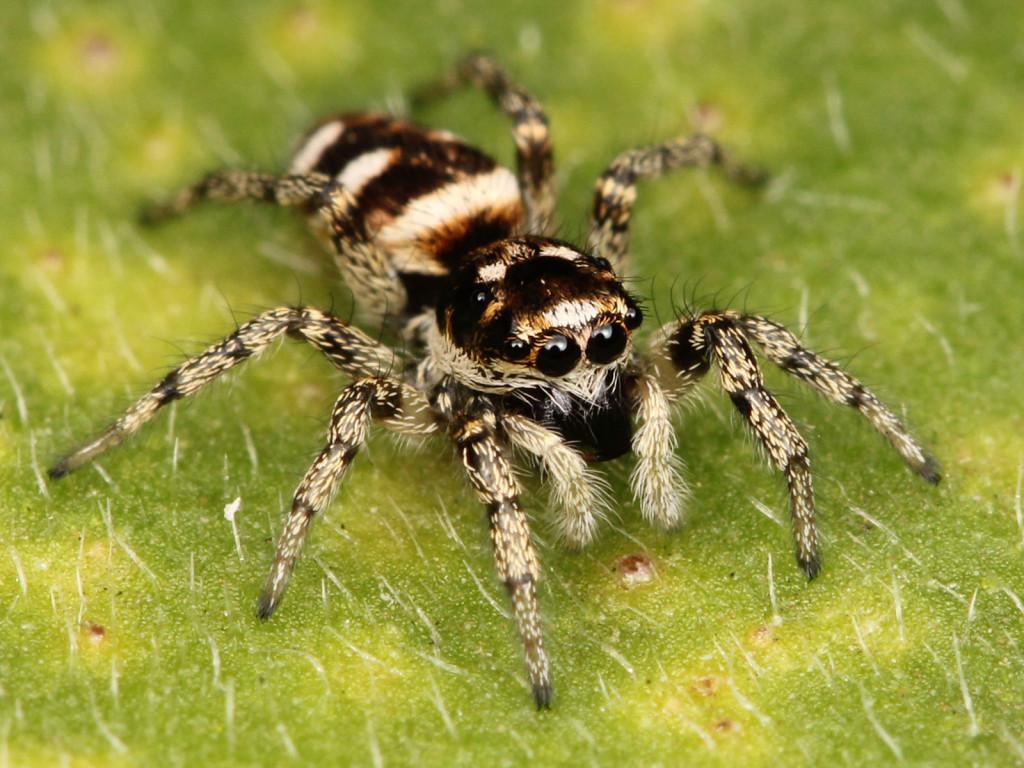 zebra-spider