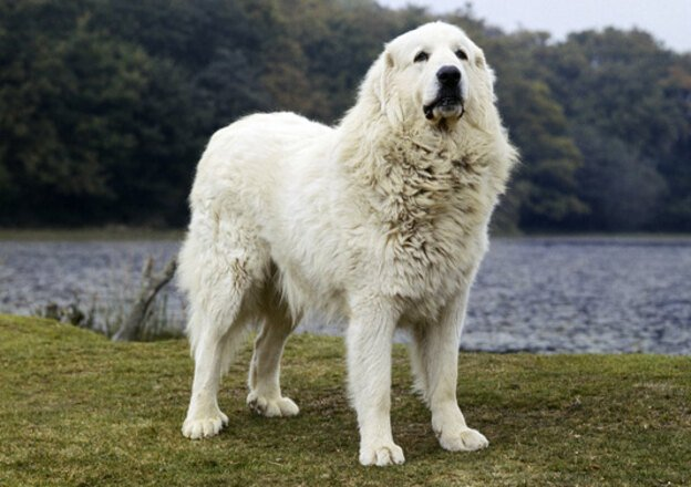Pyrenean-Mountain-Dog