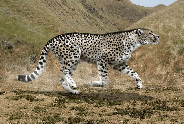 giant-cheetah