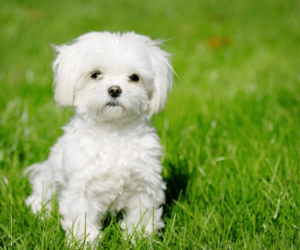 Top 4 Tips For Finding A Responsible Maltese Dog Breeder